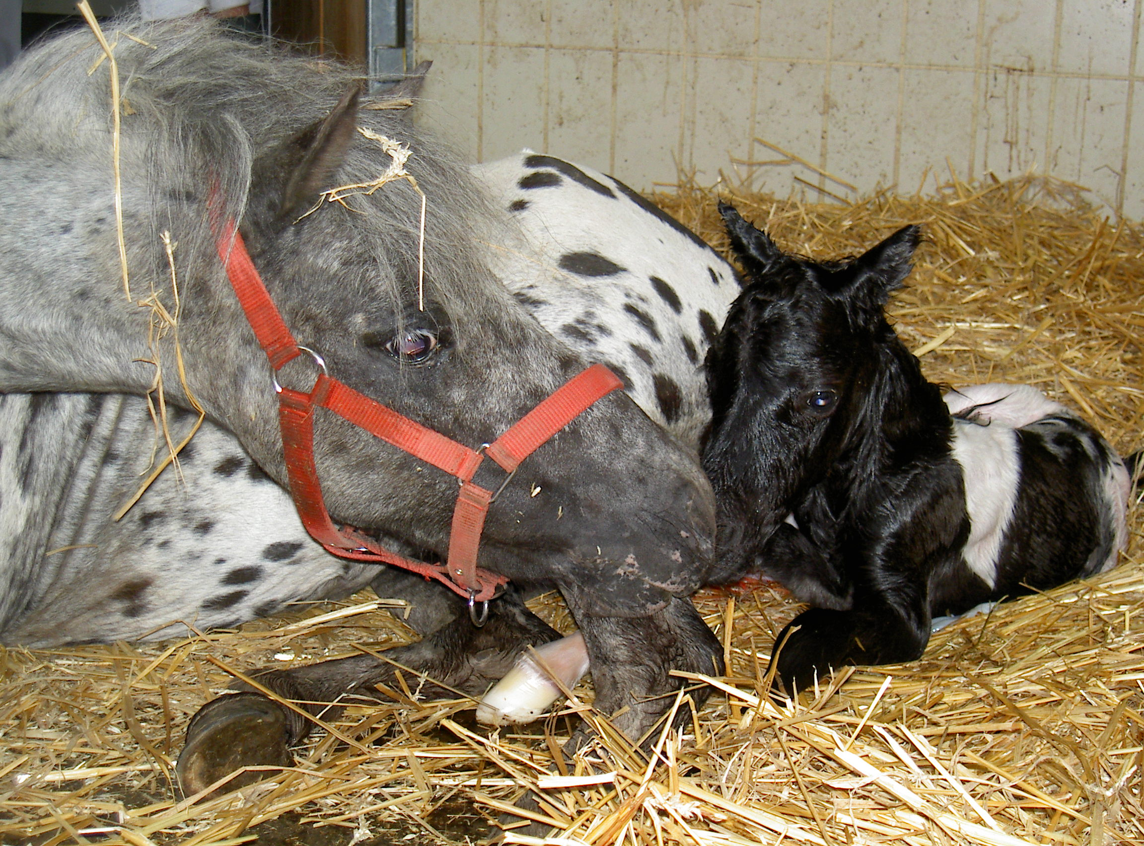 Vetmeduni Vienna Pferdemütter Sind Während Der Geburt Völlig Entspannt