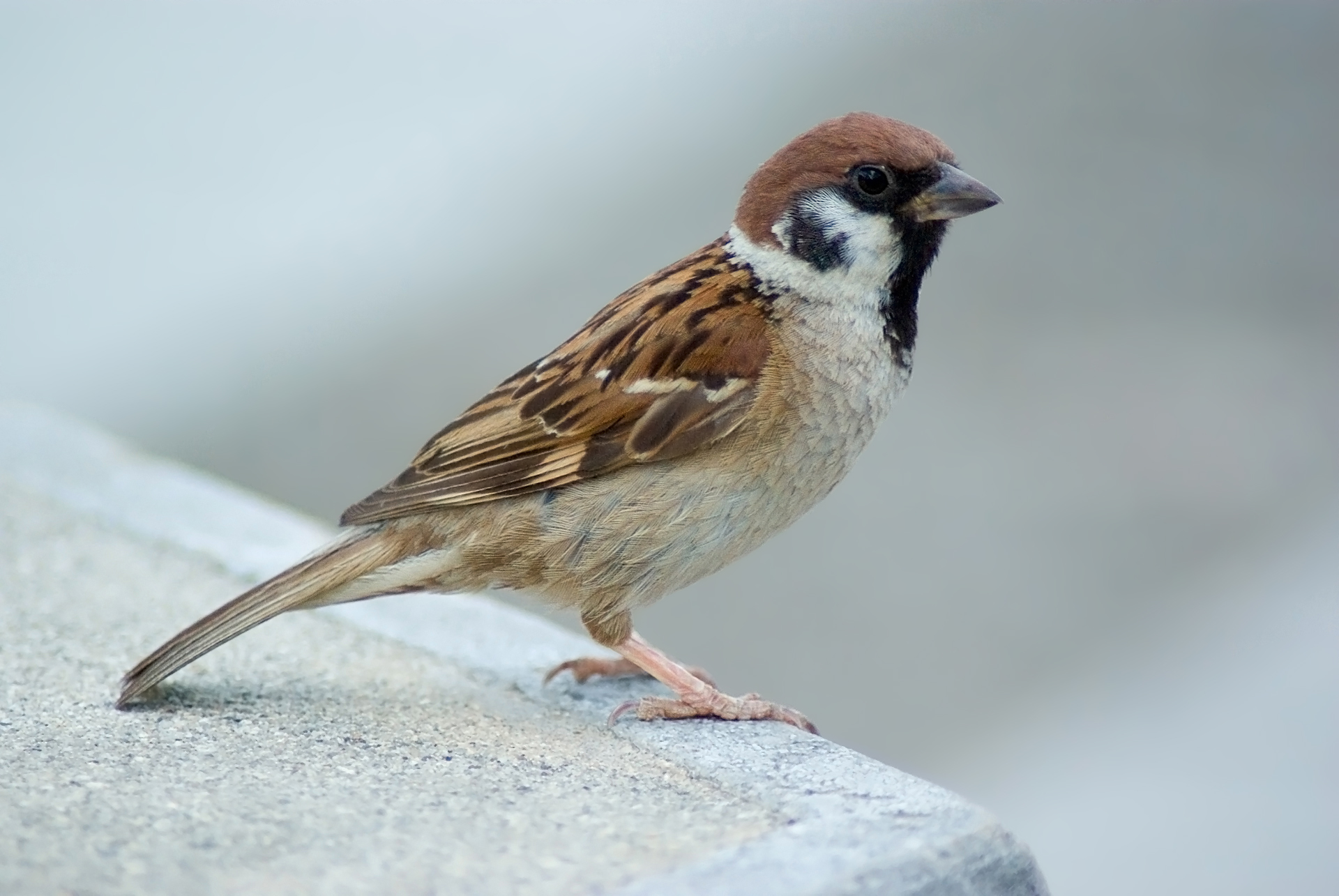 House sparrow female pictures of prostate
